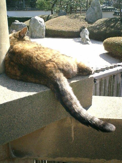 09)鎌倉市材木座「光明寺」特許!尻尾を振りながら寝る'トラシマ2号'。当初は、これで'トラシマ1号'と識別していた。