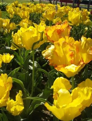 tulip fest 2007 2